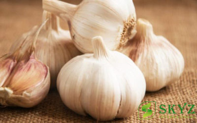 Garlic Exporters in India